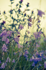 Teesdale (tonguedevil) Tags: landscape outdoor field meadow flora flower light harebells