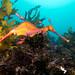 Weedy seadragon Phyllopteryx taeniolatus returning to Sydney's CTB reserve #marineexplorer