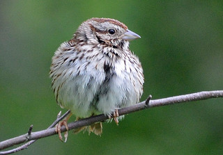 Song Sparrow, fledgling