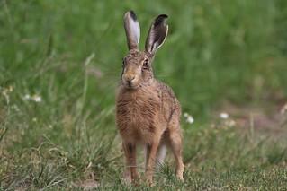 Brown hare (Lepus europaeus) Romney Marsh Kent (3)