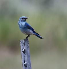 Mountain Bluebird in Wyoming (carfull...in Wyoming) Tags: wyoming bluebird bird avian male sweetwater
