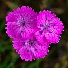 Three (Miroslav Fikar) Tags: rain pink macro dianthus meadow