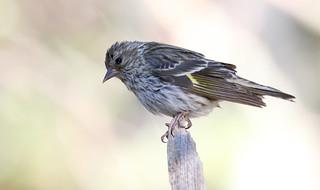 Pine Siskin (Carduelis pinus); Santa Fe National Forest, NM, Thompson Ridge [Lou Feltz]