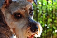 Maggie (Schnauzer) (John Panneman Photography) Tags: maggie schnauzer dog hair eyes fur panneman nikon d50