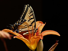 Madame butterfly (Parowan496) Tags: daylilly butterfly