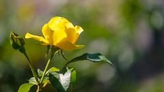 yellow Rose - 5388 (ΨᗩSᗰIᘉᗴ HᗴᘉS +27 000 000 thx) Tags: flower flora yellow 7dwf hensyasmine namur belgium europa aaa namuroise look photo friends be wow yasminehens interest intersting eu fr greatphotographers lanamuroise tellmeastory flickering bokeh