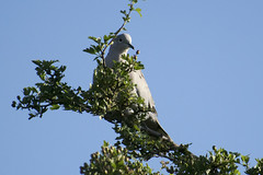 """collareddove • <a style=""""font-size:0.8em;"""" href=""""http://www.flickr.com/photos/157241634@N04/42063822735/"""" target=""""_blank"""">View on Flickr</a>"""