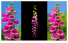 Foxglove Collage (ianbartlett) Tags: outdoor butterflies foxgloves tractor leaves wildlife nature macro collage colour light