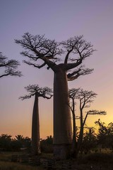 Baobabs on Sunset (Rod Waddington) Tags: africa african afrique afrika madagascar malagasy baobabs sunset landscape outdoor trees nature