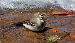 Pied Wagtail (Juvenile) (2 of 3) - Taken at Dawlish Water, Dawlish, Devon. Uk (Ian J Hicks) Tags: