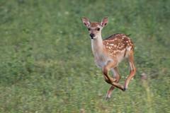 Sikahirsch-Kitz (Till2310) Tags: cervusnippon hirsch sikahirsch kitz jungtier springen jump 100400mm wildlife deer tele 7dii green grün gras fell hair braun brown