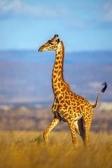 Beauty of The Nature (asifsherazi) Tags: giraffe giraffeinaction asifsherazi 2018 nairobinationalpark nnp kenya wildlife pakistaniwildlifephotographer