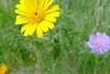 Feldblume I (claudipr0) Tags: ferien holydays vacances pfalz rheinlandpfalz birkenfeld sauerbrunnen feldblumen lupinie giersch