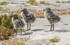 Western Gull Chicks (Becky Matsubara) Tags: alcatrazisland avian bird birds california charadriiformes gaviotaoccidental goélanddaudubon gull laridae larusoccidentalis nationalpark nature outdoors wegu westerngull wildlife