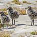 Western Gull Chicks