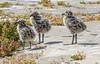 Western Gull Chicks (Becky Matsubara) Tags: alcatrazisland avian bird birds california charadriiformes gaviotaoccidental goélanddaudubon gull laridae larusoccidentalis nationalpark nature outdoors wegu westerngull wildlife