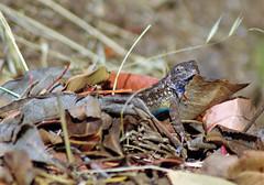 Western Fence Lizard (Scott Severn) Tags: don edwards wildlife refuge western fence lizard