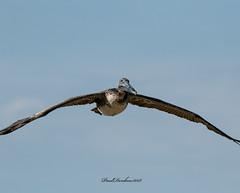 Pelican (psdenbow) Tags: pelican flight obx outerbanks northcarolina tamron tamron150600