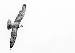 Hybrid Falcon - Hawkeye Falconry (*LaurenMcCartney*) Tags: eagle owl pebbles falcon falconry canon canon7dmark2 apicoftheweek uk british green brown bird shallow dof bubo nature wildlife natgeo animal tree macro grass