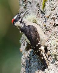 Woodpecker (iFl1ckr) Tags: animal bird yard wildlife downy woodpecker