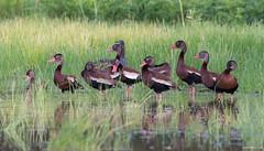Black-bellied Whistling-Duck (swmartz) Tags: outdoors nikon newjersey nature wildlife birds waterfowl ducks blackbellied whistlingduck july 2018