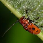 Red Milkweed Beetle thumbnail