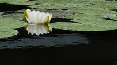 Water Lily Reflection (Gene Mordaunt) Tags: pond water waterlily flower reflection