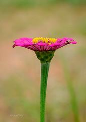 IZA_4140 (Sunil - Bhoj) Tags: mysuru karnataka india flower nikond700 nikkor105mm