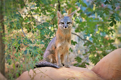 Watch it (Monkeystyle3000) Tags: gray fox vixen desert wildlife