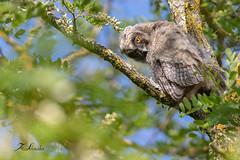 Hibou moyen-duc juvénile (sfrancois73) Tags: oiseau faune rapace hiboumoyenduc