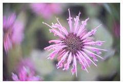 Pink star (leo.roos) Tags: monarda beebalm horsemint oswegotea bergamot bergamotkruid monarde pink roze hugomeyerkinoniiif35cm projectorlens projectionlens swirly darosa leoroos