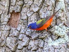 Painted Bunting (backyardzoo) Tags: bird bunting painted