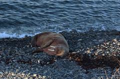 Walrus, Odobenus rosmarus, in Wick Bay, Caithness, Scotland. (Shandchem) Tags: walrus odobenus rosmarus wick bay caithness scotland