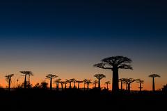 Allée des Baobabs (Jean-Jacques Mattei) Tags: madagascar baobab alléedesbaobabs leverdesoleil sunrise nuit nightshot lanscape paysage