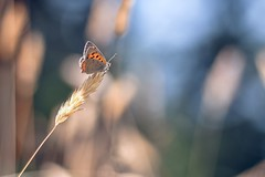 """So, you be the fire, the light without heat"" (Joe Effendi (Always Late!)) Tags: tair112133mmf28 effendi fujifilm fujix xt10 vlinder vuurvlinder nature natuur butterfly closeup macro tair112 vintagelens depthoffield dof bokeh florafauna outdoor july juli 2018 m42"