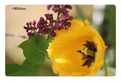 En pareja (mariadoloresacero) Tags: nature naturaleza fleurs flowers flores jaunes tulipes mauves liles amarillo tulipán moradas lilas