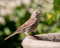 Chipping Sparrow (mahar15) Tags: birds outdoors sparrow wildlife nature spizellapasserina chippingsparrow