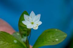 Litle White Flower (Tony Shertila) Tags: gbr muchrachd scotland unitedkingdom britain europe geo:lat=5734715801 geo:lon=492344141 geotagged pladdafalls tomich flower 20180602104006scotlandploddafallslr