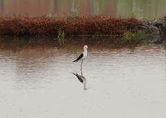 Pernilongo/ Black-winged Stilt (Himantopus himantopus) (Carpe Vitae) Tags: salt límicola stilt