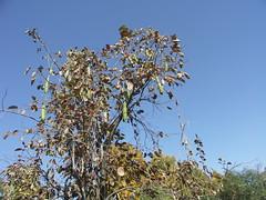 Strange fruit (caitriana) Tags: beijing china ihep autumn