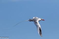 Rabijunco Etéreo, Red-billed Tropicbird (Phaethon aethereus) (Corriplaya) Tags: caboverde rabijuncoetéreo redbilledtropicbird phaethonaethereus aves birds corriplaya