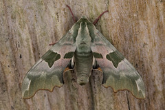 Lime Hawkmoth (The Treerunner) Tags: beachroad limehawkmoth moth
