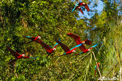 Schwarm Aras im Manu Nationalpark (about-nature) Tags: birds cusco flying manunationalpark parrots peru aboutnature colorfulbirds expedition rainforest manú madrededios pe