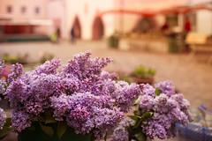 Flieder aus Schwarzwald (Nathalie Le Bris) Tags: lilas lila violet flieder selvanegra forêtnoire schwarzwald bokeh market mercado dof
