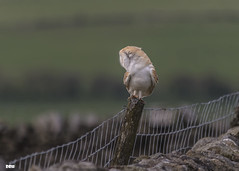 Which way? (davidrhall1234) Tags: barnowltytoalba barnowl owl dales yorkshire birdsofprey beak birdsofbritain bird birds hunting falconry feather outdoors nature nikon wildlife world talons