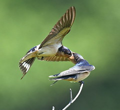 Feeding Time (KoolPix) Tags: swallows birds beaks birdfeeding wings feathers koolpix jaykoolpix naturephotography nature wildlife wildlifephotos naturephotos naturephotographer animalphotographer wcswebsite nationalgeographic fantasticnature amazingnature wonderfulbirdphotos animal amazingwildlifephotos fantasticnaturephotos incrediblenature wildlifephotography wildlifephotographer mothernature