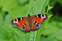 Tagpfauenauge (Aglais io) (Hugo von Schreck) Tags: hugovonschreck tagpfauenauge aglaisio schmetterling butterfly macro makro insect insekt fantasticnature greatphotographers canoneos5dsr tamron28300mmf3563divcpzda010