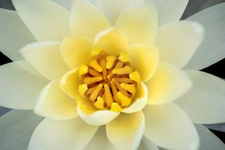 White-Yellow Lily 3-0 F LR 6-13-18 J011