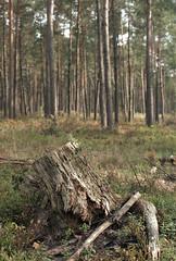 (turquoise monkey) Tags: smctakumar55mmf18 revueflexsd1 kodakportra iso160 boxspeed forest dehogeveluwe netherlands gelderland
