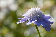 Friday's Flower Power (MR@tter) Tags: blumen natur skabiose bokeh flower flowers canonef100mmf28macrousm canonef100mm bokehlicious scabiosa